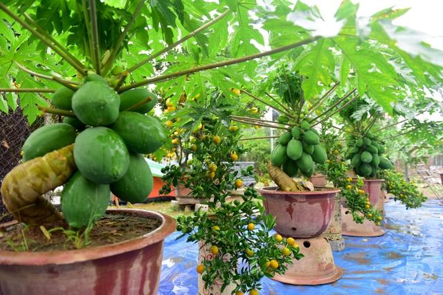 Những cây đu đủ bonsai đẹp độc được bày bán với giá hàng chục triệu đồng.