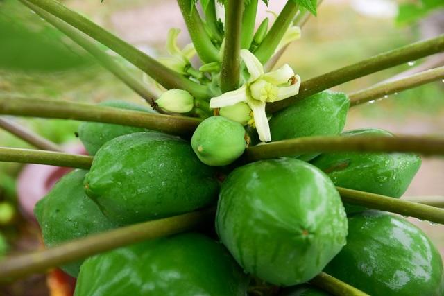Mỗi cây đu đủ bonsai được đánh giá là đẹp phụ thuộc vào nhiều yếu tố như dáng cây, nhiều quả quả to, trong đó đặc biệt mỗi cây phải có đầy đủ quả to, quả nhỏ, hoa và lộc.
