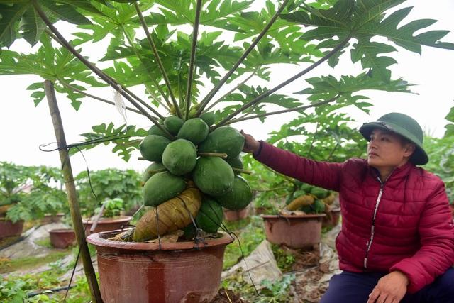 Nhiều người đã đặt cây, nhưng một số người đến mua đu đủ bonsai chưa được giá nên tôi chưa bán, anh Chính chia sẻ.