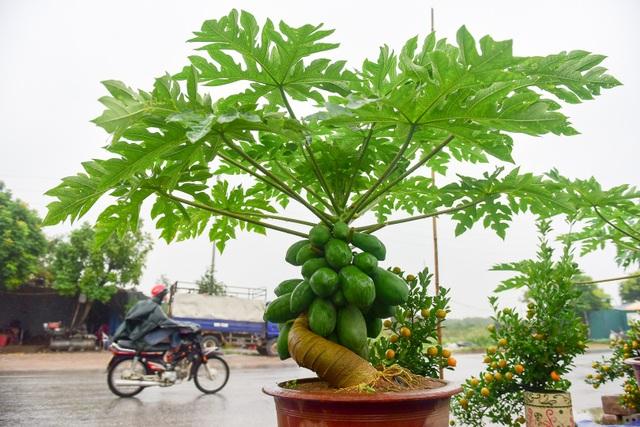Để cây đu đủ bonsai có thể phát triển tốt trong chậu, nhiều quả và to tròn, cần trồng bằng loại đất thịt ải hoặc đất mới chưa qua gieo trồng bất cứ loại cây nào. Đây là khâu kỹ thuật quan trọng, có ý nghĩa quyết định tỷ lệ sống của cây đu đủ trên chậu sau trồng, anh Chính cho hay.