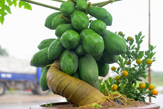 Anh Chính tiết lộ, nhiều chậu đu đủ bonsai đã có người đặt hàng, giá cây từ vài triệu đến hàng chục triệu đồng.