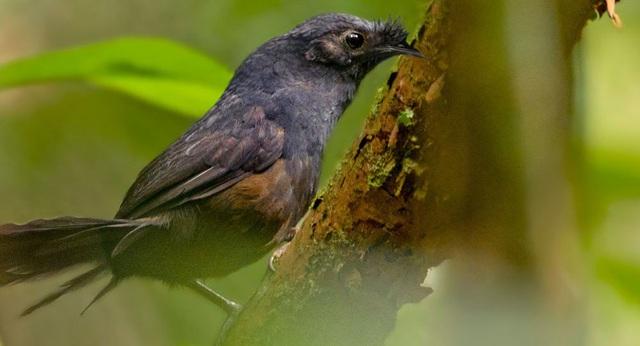 Sau 23 năm lại tìm thấy loài chim sẻ hiếm nhất thế giới - Ảnh 1.