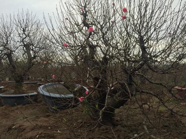 Nụ hoa đào đầu tiên xuất hiện trên cây đào cổ thụ trong vườn nhà anh Vụ (Ảnh: Nguyễn Trường).