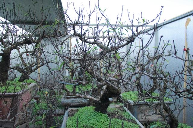 Những cây đào Thất Thốn được để trong phòng chăm sóc đặc biệt để không bị thời tiết chi phối (Ảnh: Nguyễn Trường)