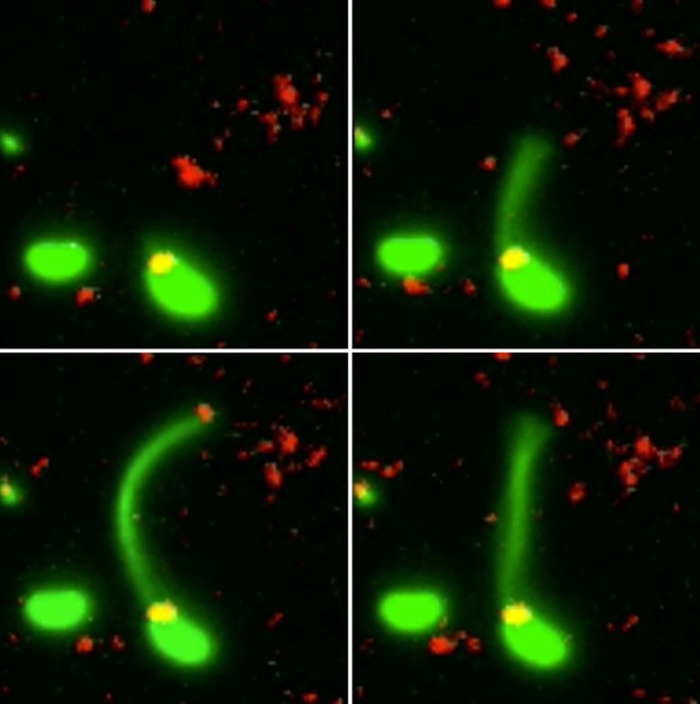 Lần đầu tiên, các nhà khoa học gặp cảnh vi khuẩn có khả năng sát nhập DNA của một vi khuẩn khác.