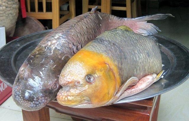 """Cá anh vũ (còn được gọi là cá tiến vua) sống nhiều ở vùng Tây Nguyên hay Phú Thọ, Hòa Bình.... Loại cá này có thịt rất săn chắc lại có tính ôn, có thể chữa các bệnh nóng nhiệt, táo bón và bồi bổ thận, hoàn. Cá có miệng cực khỏe để bám vào vách đá hàng giờ, cạo rêu đá ra ăn nên bành ra như mõm lợn. Theo những ngư dân lão luyện, cái """"mõm lợn"""" ấy chính là bộ phận ngon nhất và đắt nhất của cá anh vũ."""