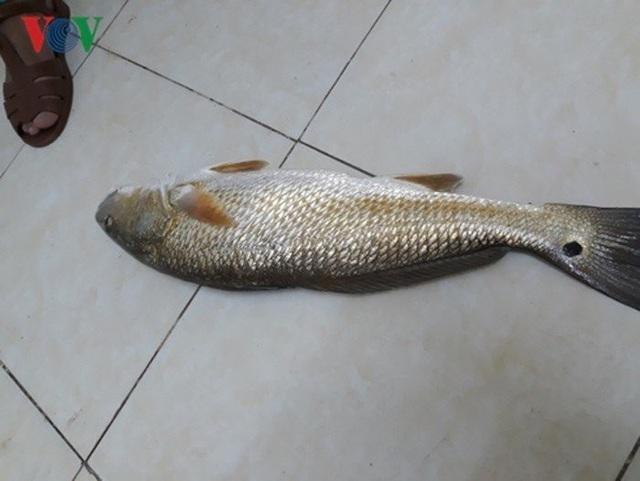 Cá này có giá trị do bộ phận bóng cá là quý nhất, bộ phận này được sử dụng để làm chỉ khâu tự tiêu trong phẫu thuật. Cá có trọng lượng 40 - 50kg thì bóng đạt khoảng 1kg tươi. Giá trị kinh tế của loài cá này đặc biệt cao, giá có thể lên đến hàng tỉ đồng mỗi con, tùy theo trọng lượng.