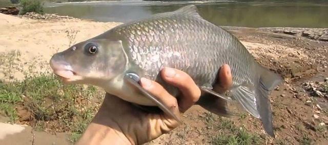 Do sự quý hiếm, rất ngon và bổ dưỡng nên cá dầm xanh có giá khoảng 850.000 đồng/kg.(Ảnh Casongda)