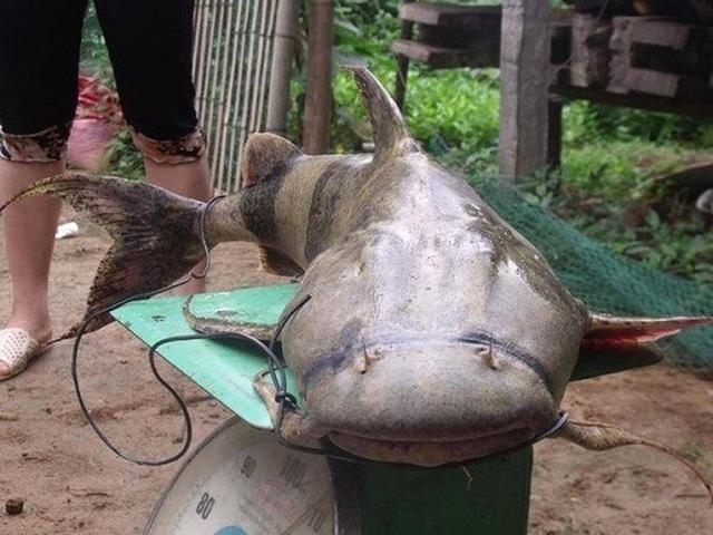 Đây là một trong 4 giống cá nước ngọt quý hiếm được coi là Tứ quý hà thủy gồm cá anh vũ, cá chiên, cá lăng và cá bống. Giá khá đắt, khoảng 500.000 - 700.000 đồng/kg hoặc có thể hơn 1 triệu đồng/kg tùy độ to của cá.