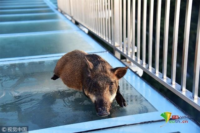 Sau một hồi loay hoay không thành công, con vật mệt mỏi nằm im không nhúc nhích chờ được giải cứu