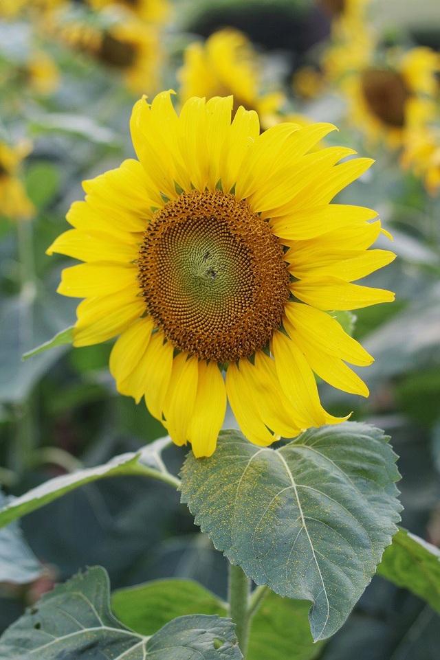 Cuối tháng 11, đầu tháng 12 là thời điểm những bông hoa hướng dương khoe sắc đẹp nhất trong năm.