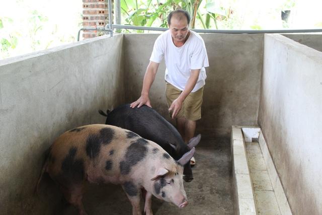 Lợn được kiểm tra trước khi giết mổ tại lò mổ của gia đình ông Hùng.