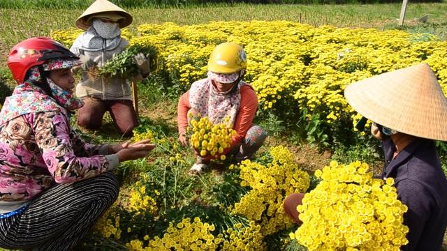 Thị trường cúc trái vụ khá rộng, vì vậy toàn bộ số hoa cúc của người dân xã Nghĩa Hà đều được thương lái đến tận ruộng thu mua hết.