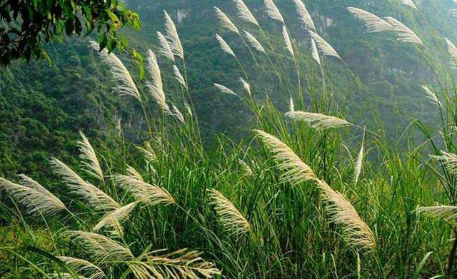 Ngỡ ngàng vẻ đẹp sắc trắng bông lau Ninh Bình - 4
