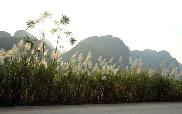 Ngỡ ngàng vẻ đẹp sắc trắng bông lau Ninh Bình - 7