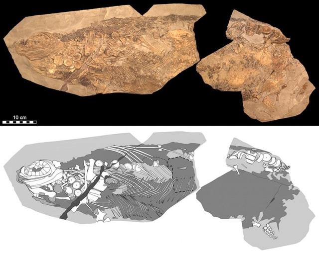 """Hoá thạch của loài """"quái vật"""" biển có niên đại 180 triệu năm trước."""
