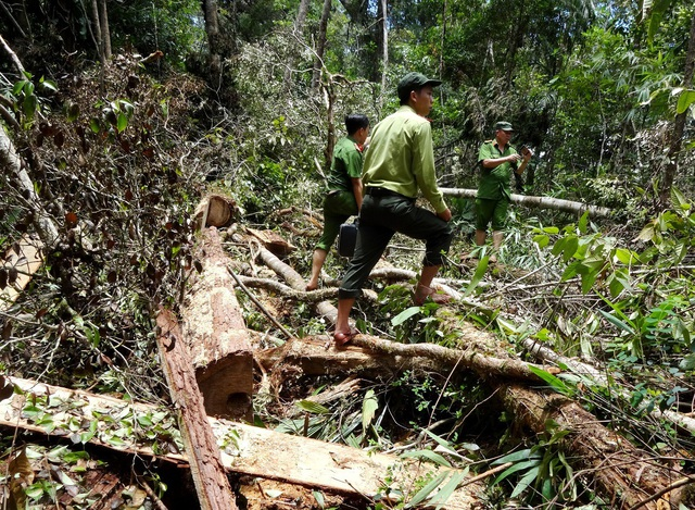 Hiện trường vụ phá rừng pơmu