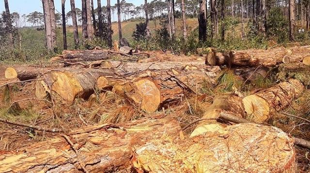 Lợi dụng dọn dẹp cây bụi, phá nát hàng trăm cây rừng cộng đồng - 2