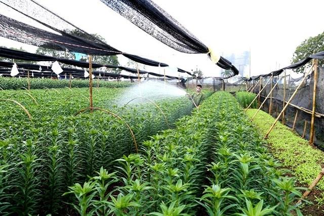 Người dân đưa hoa ly giá trị cao vào trồng để cải thiện thu nhập.