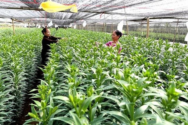 Hoa ly được trồng trong nhà lưới.