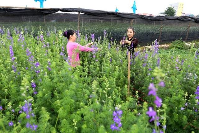 Sắc tím của violet tô điểm thêm cho cánh đồng hoa.