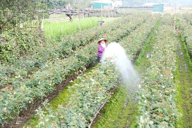 Chăm sóc hoa trước khi thu hoạch.