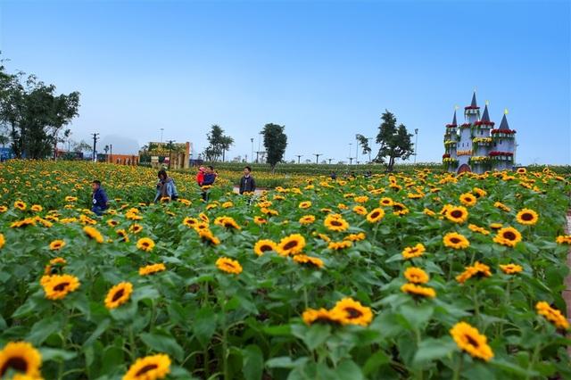 """Không cần phải ghen tị với các bạn trẻ ở Nghệ An, giờ đây ngay giữa Hạ Long các tín đồ """"sống ảo"""" có thể check-in khu vườn hoa hướng dương rộng 1.500m2 và tha hồ khiến bè bạn ghen tị với những bức hình không thể chất và lãng mạn hơn nữa."""