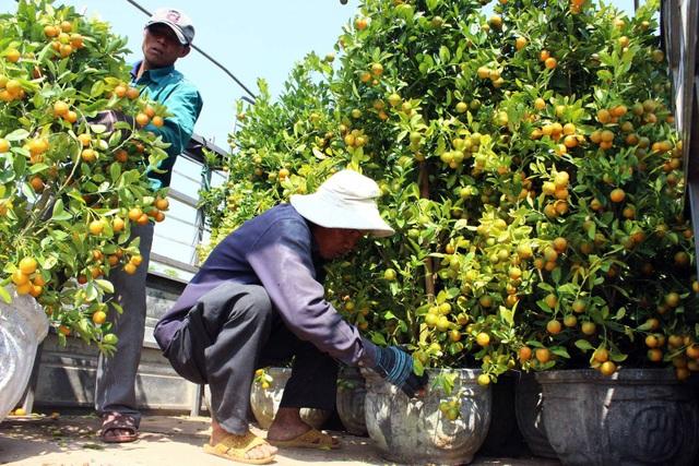 Phú Yên: Kiếm tiền từ phụ bán quất cảnh dịp cận Tết - 2