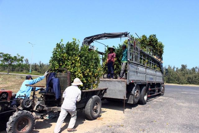 Người lao động hối hả vận chuyển quất lên xe