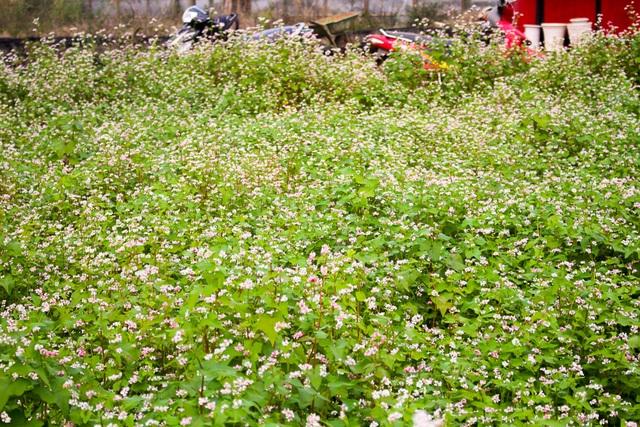 Hoa tam giác mạch Miền Bắc nở rộn trên Cao Nguyên