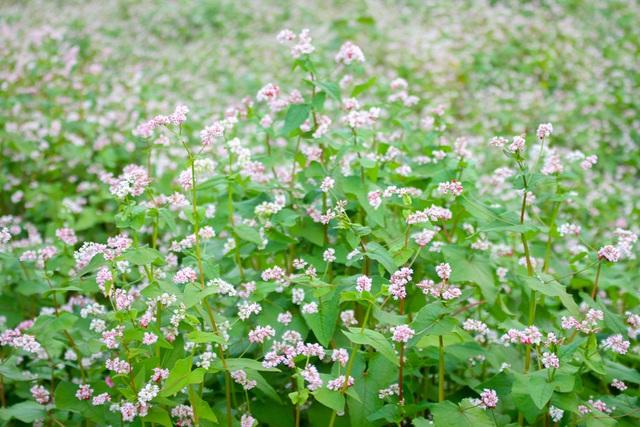 Vườn hoa tam giác mạch xuất hiện ở Gia Lai khiến nhiều người dân hiếu kì