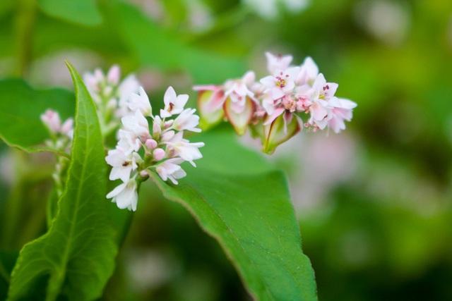 Sắc xuân hoa tam giác mạch trên phố núi