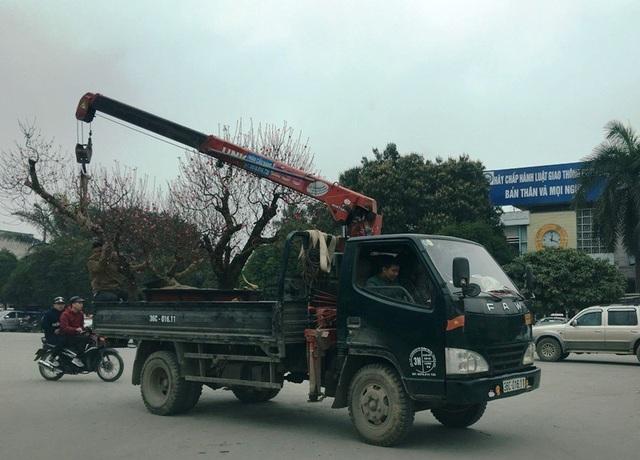 Những chiếc xe tải cỡ nhỏ được huy động để vận chuyển cảnh có kích cỡ lớn hoặc vận chuyển một lúc nhiều cây.