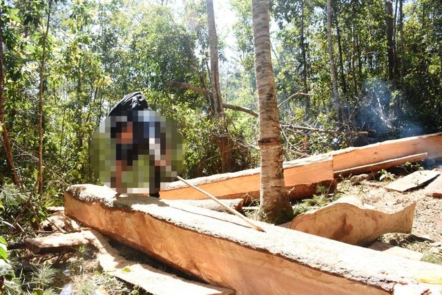 Những lóng gỗ khủng được xẻ hộp ngay tại rừng