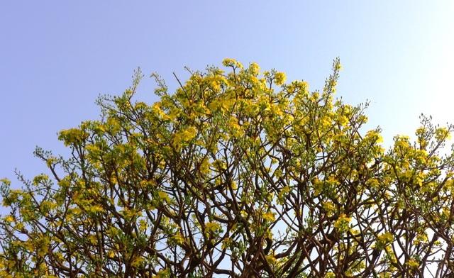 """""""Hoa mắt"""" trước cây mai vàng hình nấm được cắt tỉa gần 40 năm - 8"""