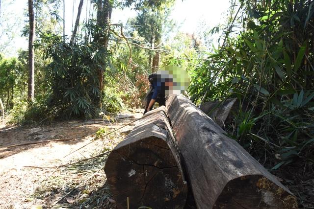 Những lóng gỗ cũ bị các đối tượng lâm tặc xẻ thịt và cất giấu ở đường giáp ranh từ lâu