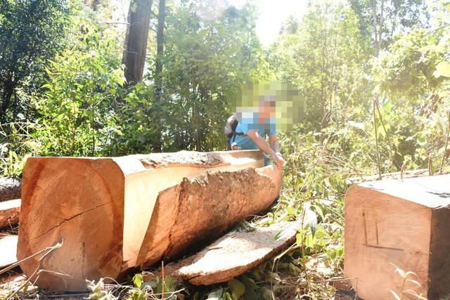 Cận tết, nhiều đối tượng đã vào khai thác gỗ khủng trái phép, dọc đường giáp ranh