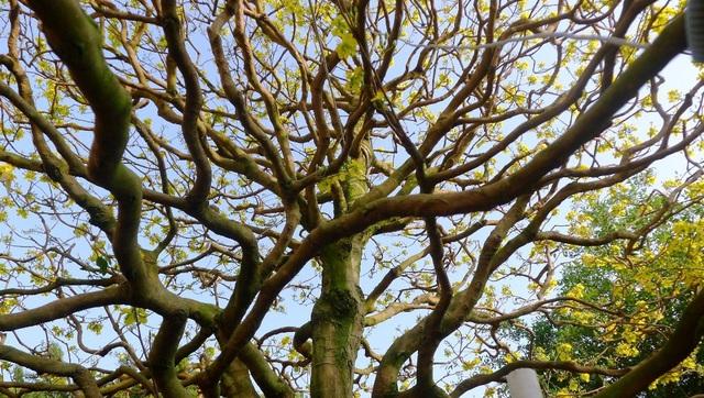 Theo anh Tuấn cho biết, để có cây mai có dáng và chi đều đẹp như hiện tại chủ nhân của nó đã bỏ gần 40 năm chỉnh sửa