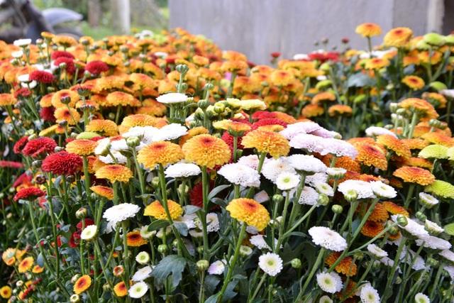 Hoa cúc Nghĩa Hà khoe sắc ngày cuối năm