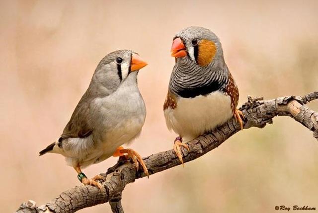"""Chim uốn cong cơ thanh âm và """"mơ hót"""" trong khi ngủ - 1"""