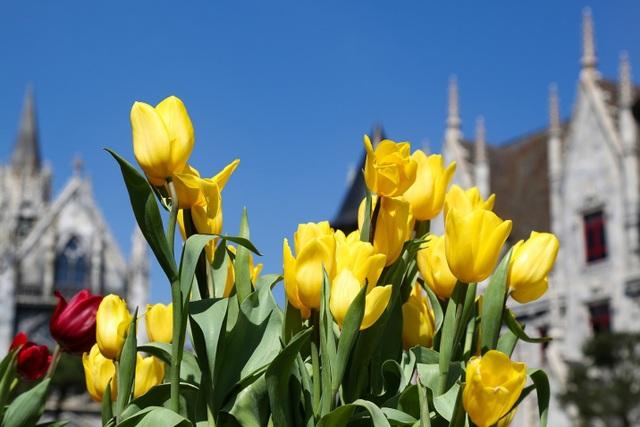 """Hơn 10.000 chậu hoa tulip đủ màu sắc đã được khu du lịch mang về phục vụ lễ hội. Với đủ màu sắc khác nhau như tím, vàng, hồng, cam… tulip đã trở thành """"nhân vật chính"""" trong các bức ảnh của các nhiếp ảnh gia cả cừ khôi lẫn nghiệp dư."""