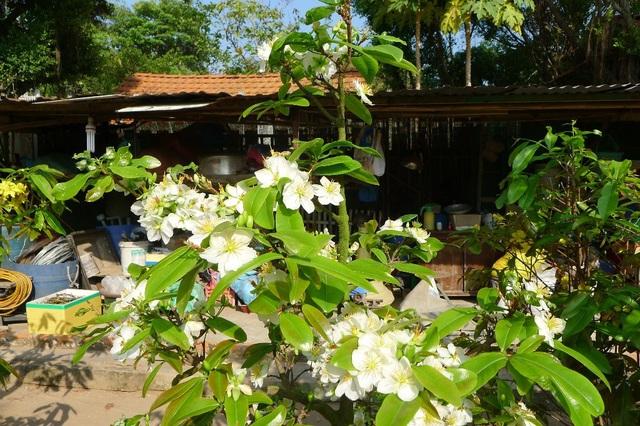 Bông mai màu trắng làm nổi bật khu vườn...
