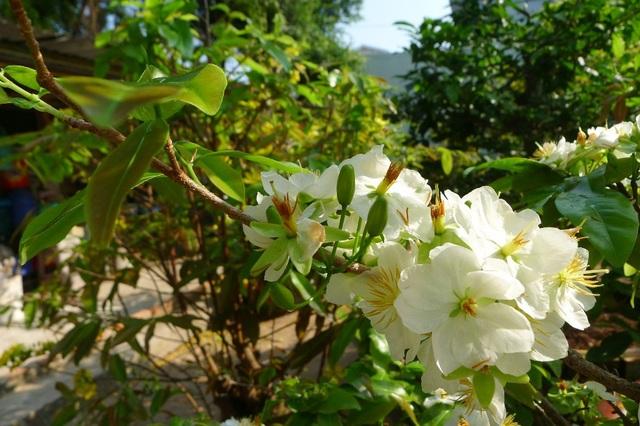 Ngắm cây mai trắng Miến Điện độc, hiếm ở miền Tây - 5