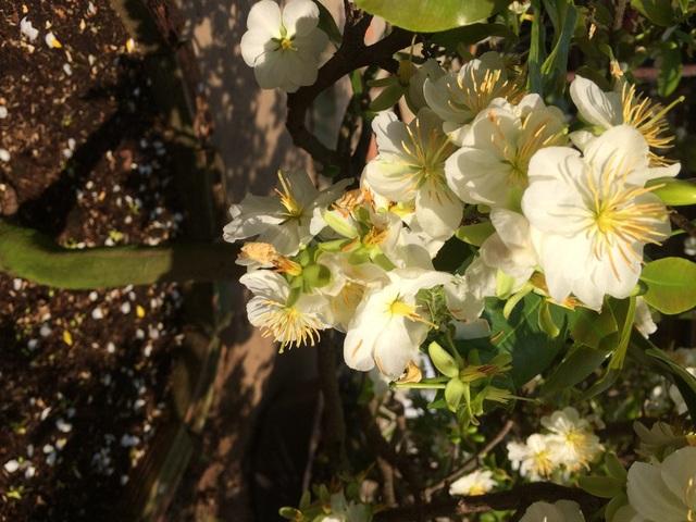 Ngắm cây mai trắng Miến Điện độc, hiếm ở miền Tây - 2