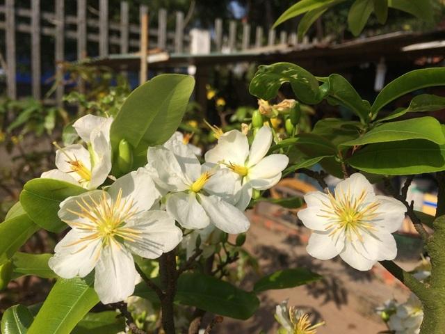 Cây mai trắng Miến Điện được anh Tuấn ươm từ hột nên là cây mai nguyên bản, không phải mai ghép..