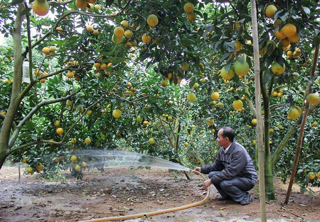 Phá bỏ thế độc canh của cây vải thiều, chuyển một phần diện tích sang ccác cây có múi và cây ăn quả khác (ảnh: B.Hân)