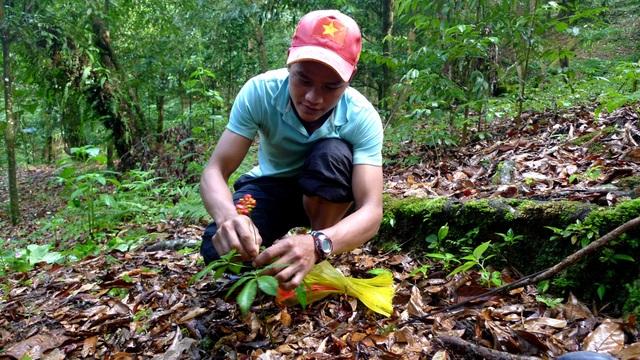 Những vườn sâm dưới tán rừng Ngọc Linh