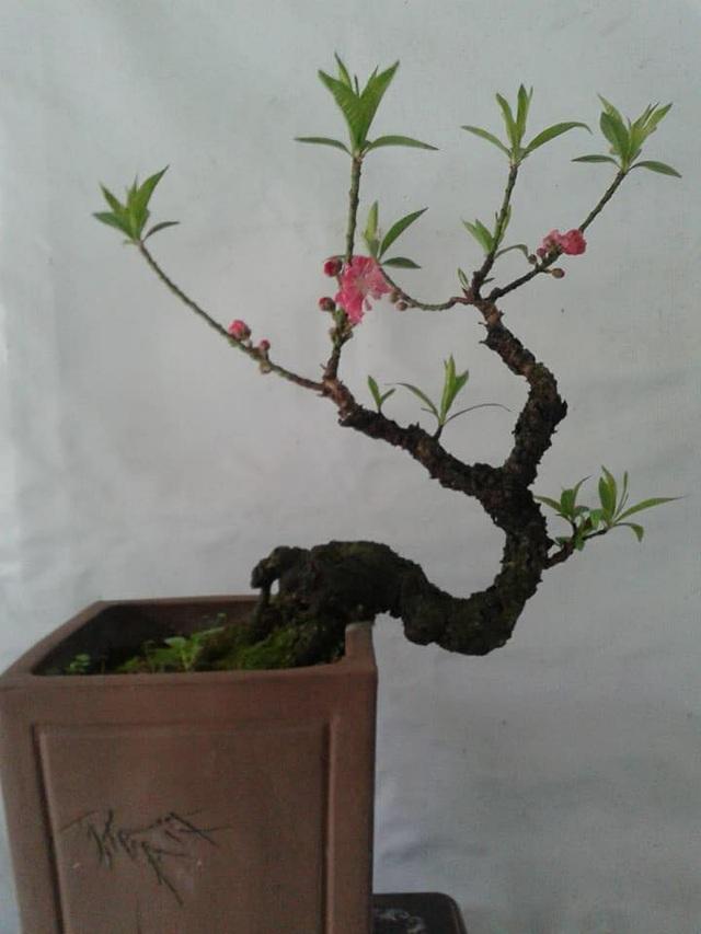 Gốc đào Thất Thốn nguyên bản 17 năm tuổi trồng tại Việt Nam có giá 30 triệu đồng.