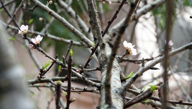 Những cành đào bắt đầu bung nở những cánh hoa đầu tiên.