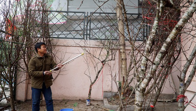 Theo tìm hiểu của Dân Việt, để có những cành đào rừng đẹp mang về phố bán, cánh thương lái đã phải lên các khu vực Tây Bắc như Mộc Châu, Sơn La thu mua và thuê xe vận chuyển về Hà Nội với chi phí khá cao.